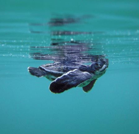 A critically endangered leatherback turtle hatchling (Dermochelys coriacea) takes a breath as it swims out to to sea, Mt Irvine. Photograph courtesy G Lalsingh/SOS Tobago