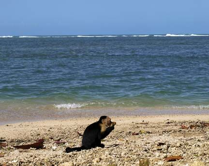 A capuchin takes a break from stealing tourists` picnics to enjoy the beach at Cahuita. Photograph by Matthew Barker