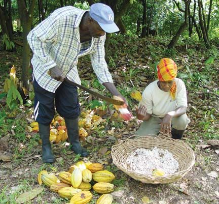 Cracking the cocoa — removing the hard outer shell to reach the pulp with the cocoa seeds inside. Photograph courtesy the Belmont Estate