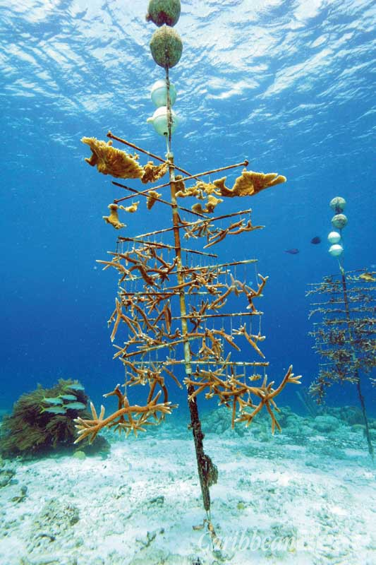 CRF Bonaire cultivates staghorn and elkhorn corals in warm, shallow waters with ample nutrients. Photograph courtesy Coral Restoration Foundation