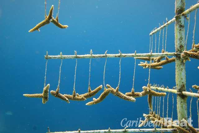 Photograph courtesy Coral Restoration Foundation