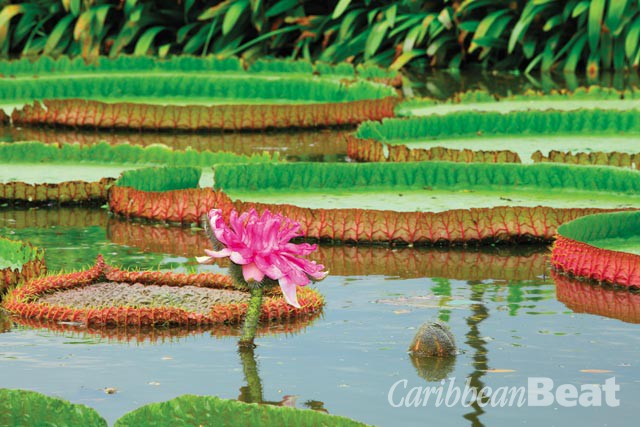 Guyana's famous Victoria amazonica waterlilies. Photograph by kajornyot/shutterstock.com