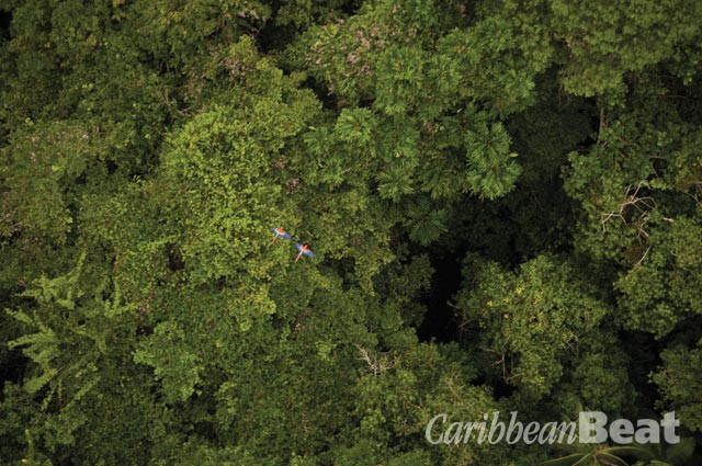Macaws soar over the rainforest canopy at Iwokrama. Photograph by Graham Watkins