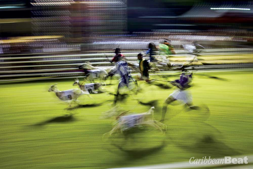 The excitement of goat-racing at Buccoo. Photograph by Hugh Stickney