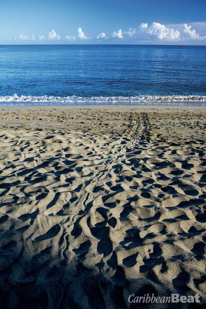 Leatherback tracks explain how Turtle Beach got its name. Photograph by Hugh Stickney