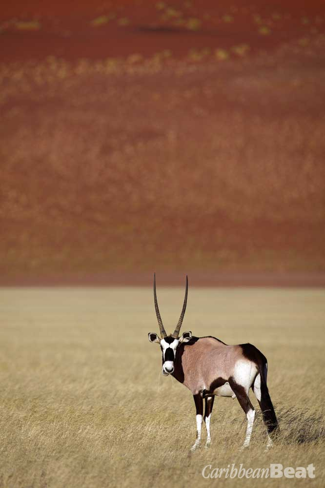 The oryx is an icon of Namibia. Photograph ©ISTOCK.COM/MOGENSTROLLE