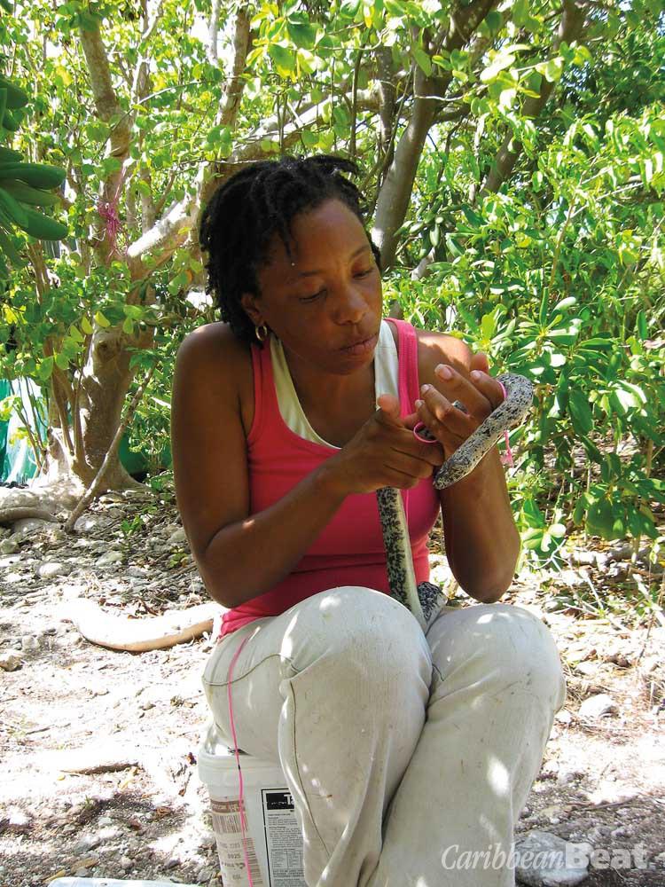 Volunteer Andrea Otto examines a rare Antiguan racer snake. Photograph courtesy the Antigua and Barbuda Environmental Awareness Group