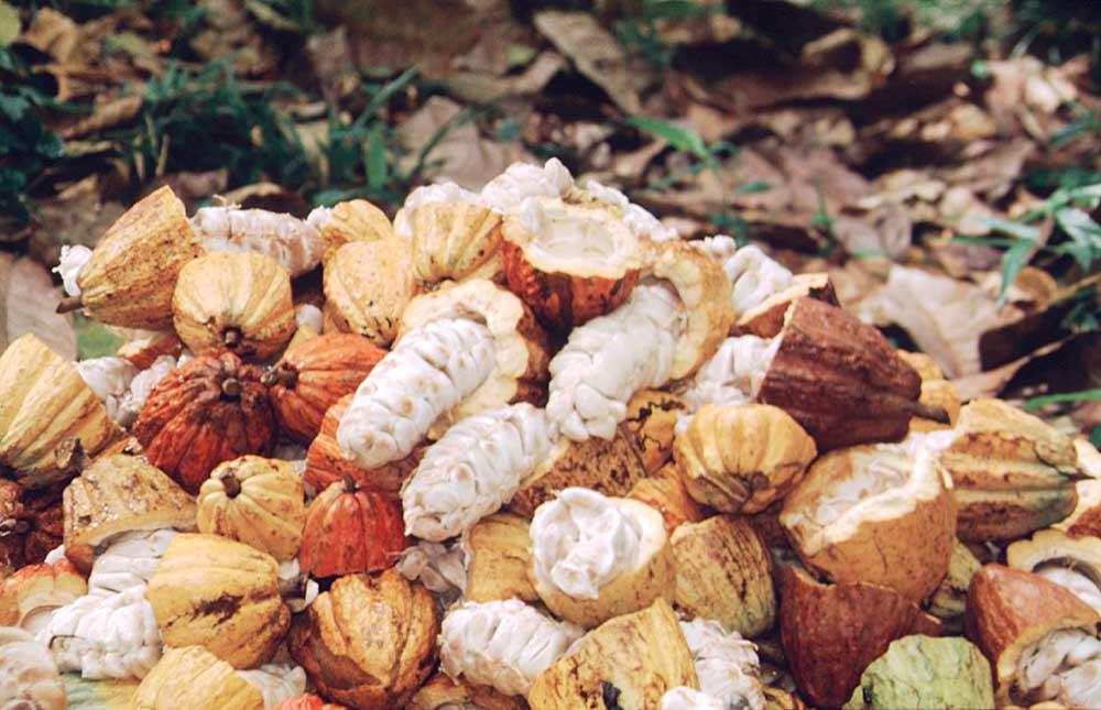 Freshly cracked cocoa pods. Photograph by Anton Modeste
