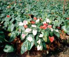 Anthurium in traditional colours of red, pink, white. Photograph courtesy Kairi Blooms