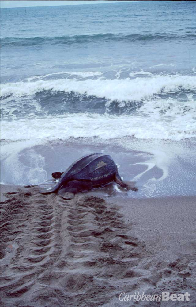 Having laid her eggs, the leatherback returns to sea. Photograph by Mark Nuzum