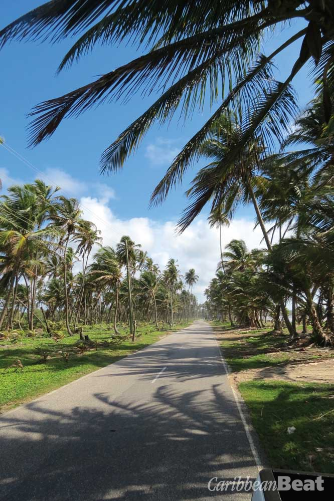 The road to Mayaro is lined with twisting coconut trees. Photograph by Helen Shair-Singh
