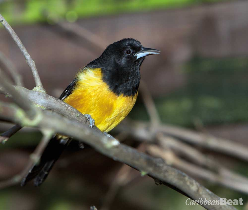 Montserrat oriole (Icterus oberi). Photograph by Gregory Guida