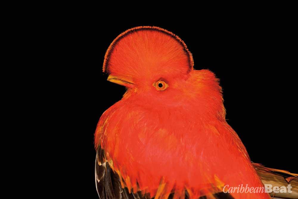 Guianan cock-of-the-rock (Rupicola rupicola). Photograph © Pedro Bernardo/shutterstock.com