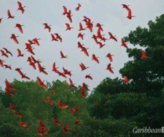 Scarlet ibis (Eudocimus ruber). Photograph by Faraaz Abdool
