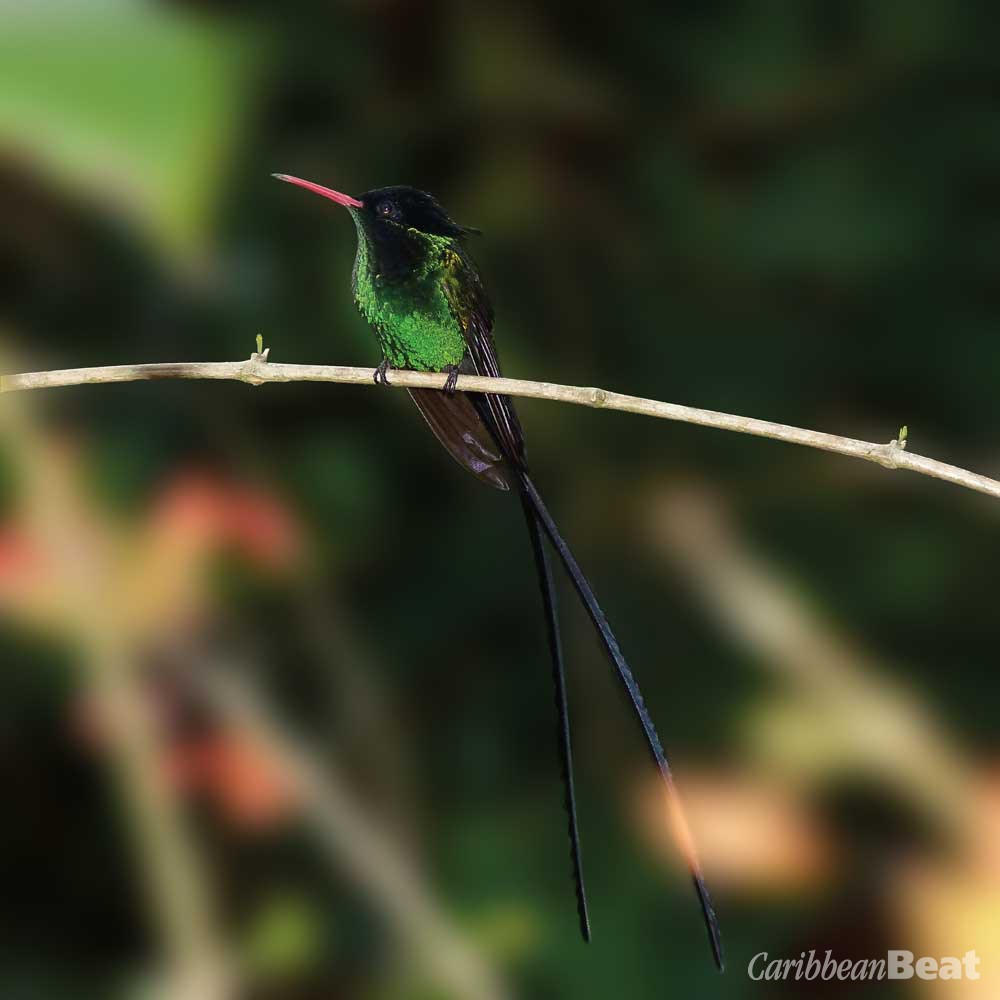 Red-billed streamertail (Trochilus polytmus). Photograph by Wendy Lee
