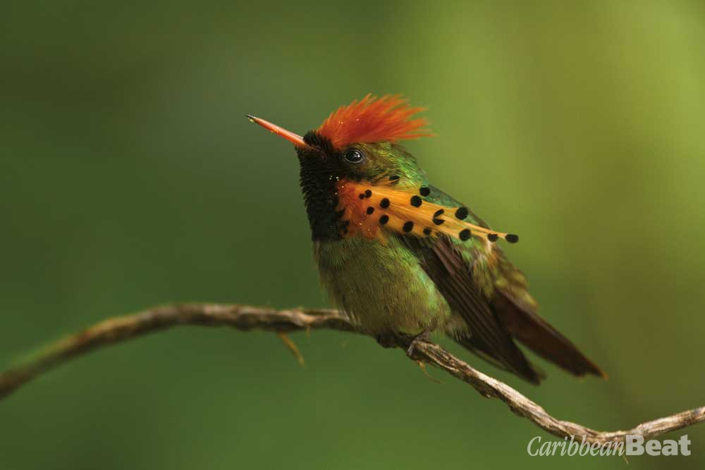 Tufted coquette (Lophornis ornatus). Photograph by Faraaz Abdool