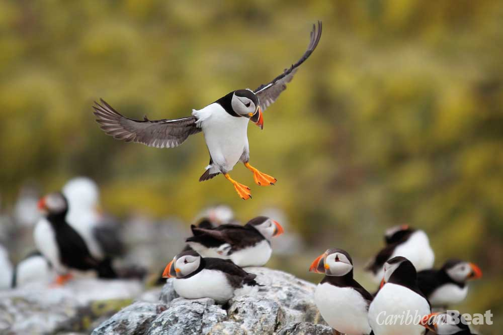 The colony of puffins at Sumburgh Head is one of the most easily accessible to birders anywhere in the world. Photograph by Mark Caunt/shutterstock.com