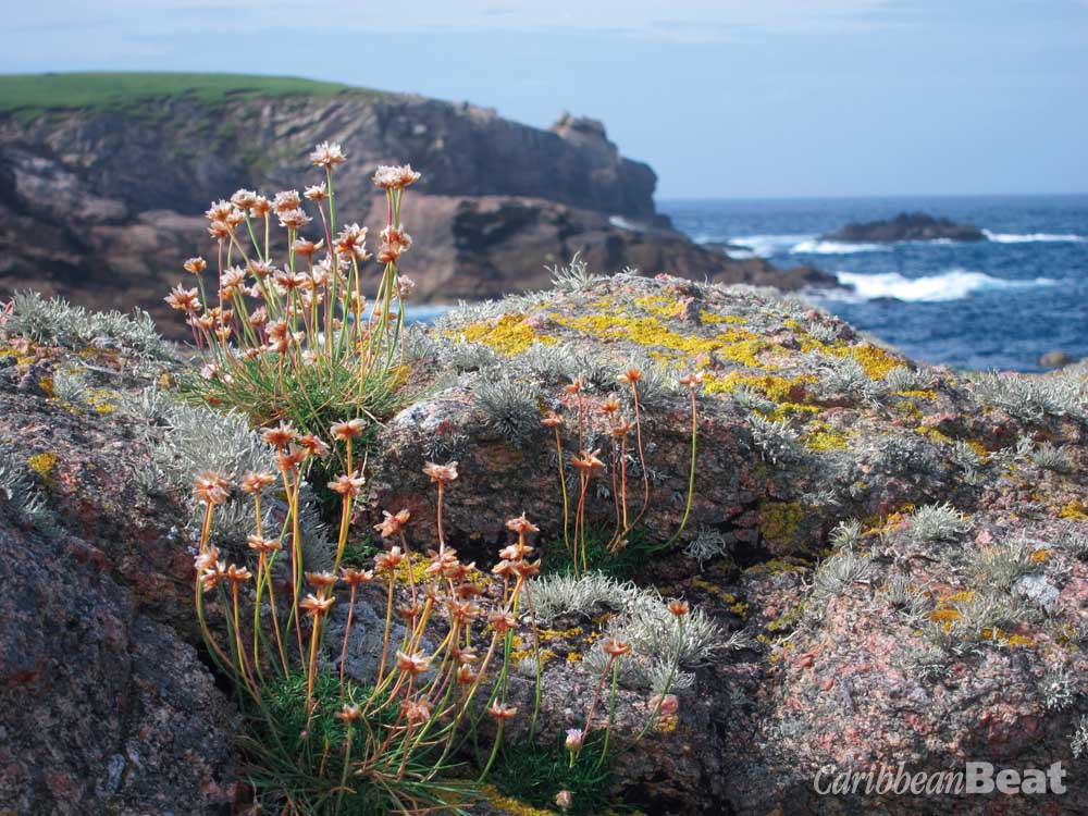 Hardy wildflowers and lichens thrive on the Shetlands' sea-blasted shores. Photograph by Nicholas Laughlin