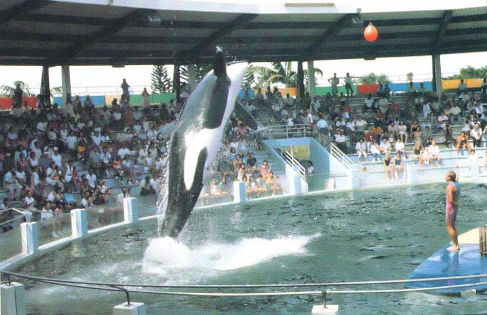 Lolita the Killer Whale performs at the Miami Seaquarium. Photograph by Greater Miami Convention and Visitors' Bureau