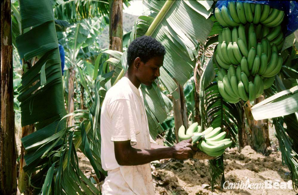 Harvesting bananas in St Lucia. Photograph by Chris Huxley