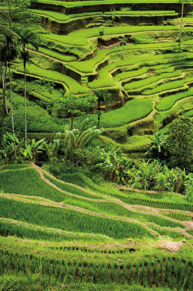 Verdant terraced rice fields are a typical feature of Bali's landscape. Shutterstock/Edmund Lowe Photography