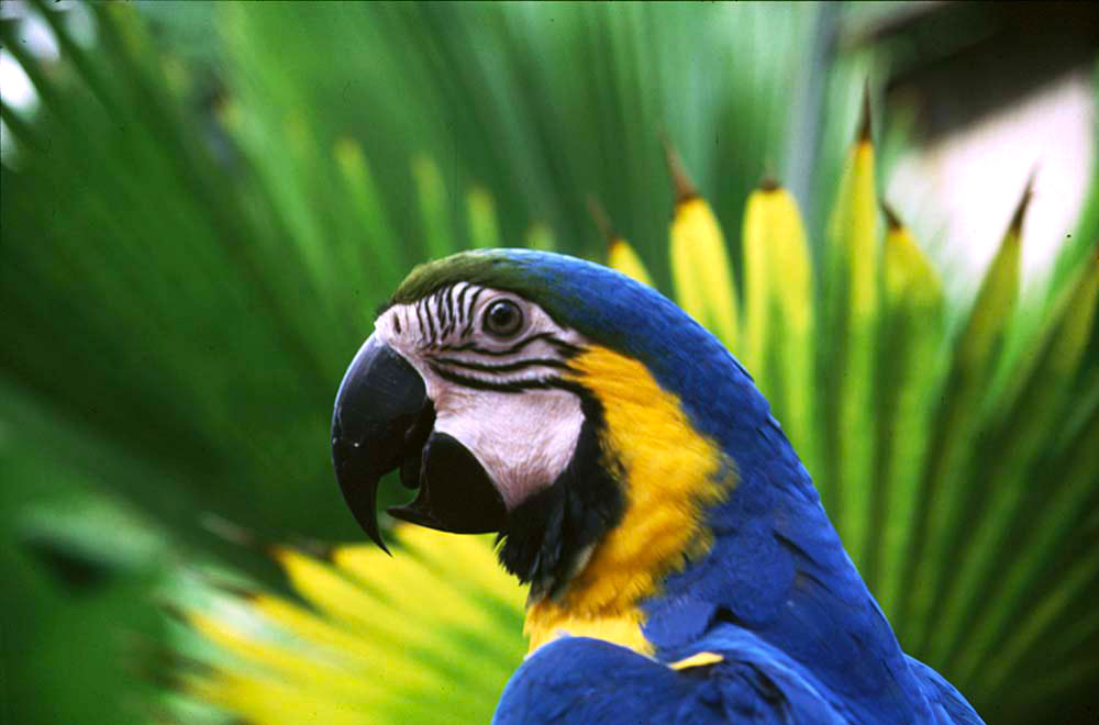 A gold and blue Macaw. Photograph by Stephen Broadbridge