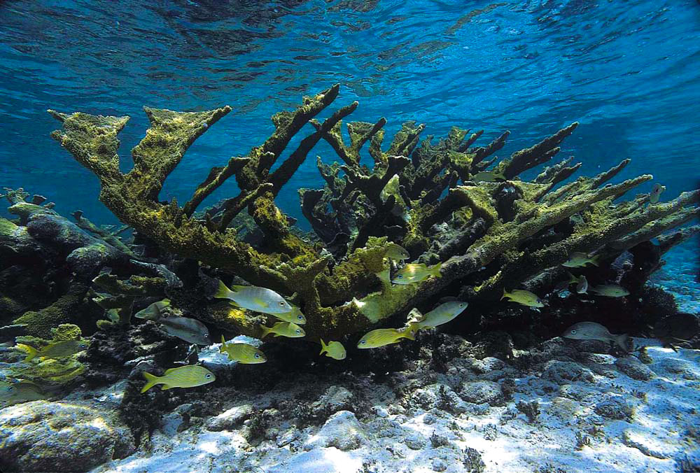 French Grunts under Elkhorn Coral. Photograph courtesy the Buccoo Reef Trust