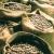 Nutmegs. Photograph courtesy Grenada Tourist Board
