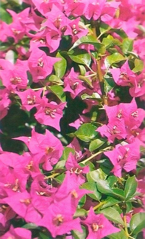 Purple bougainvillea. Photograph by Jim Rudin