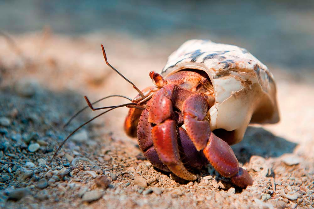 A curious soldier crab. Photograph by iStock.com/Westhoff