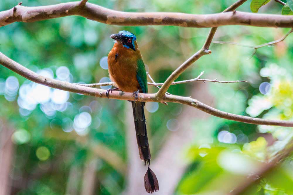 The blue-crowned motmot, one of Tobago's most colourful bird species. Photograph by Hugh Stickney
