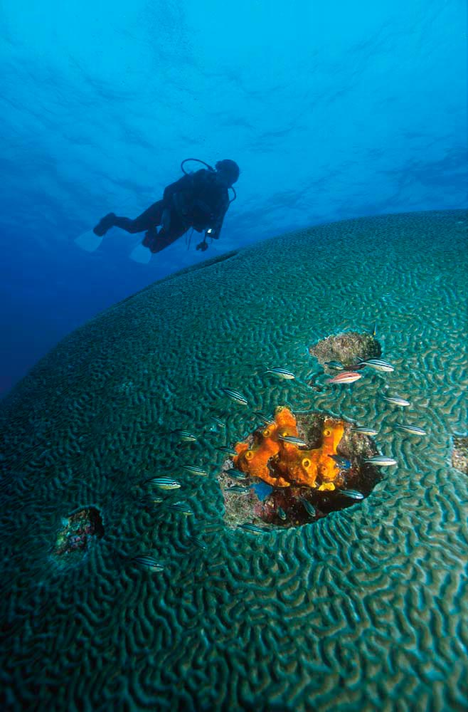 Exploring the famous brain coral near Speyside, Tobago. Photograph by Rohan Holt