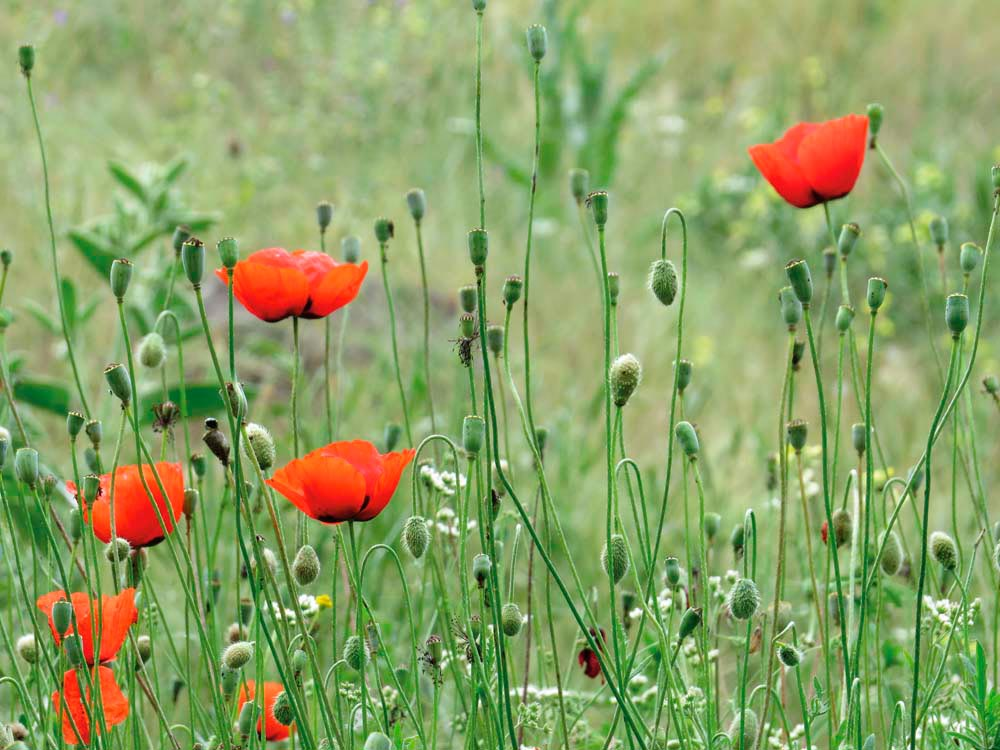 Poppies blooming in the Ihlara gorge. Photograph by Nicholas Laughlin