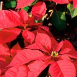 Red for joy: the poinsettia at Christmas