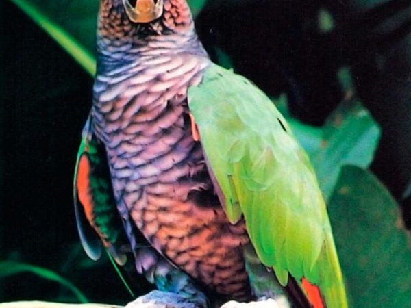 Last captive Sisserou held in the aviary of the Botanical Gardens, Roseau. Photograph by Paul Reillo/RSCF