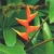 Heliconia. Photograph by Clem Johnson/ Freestyle