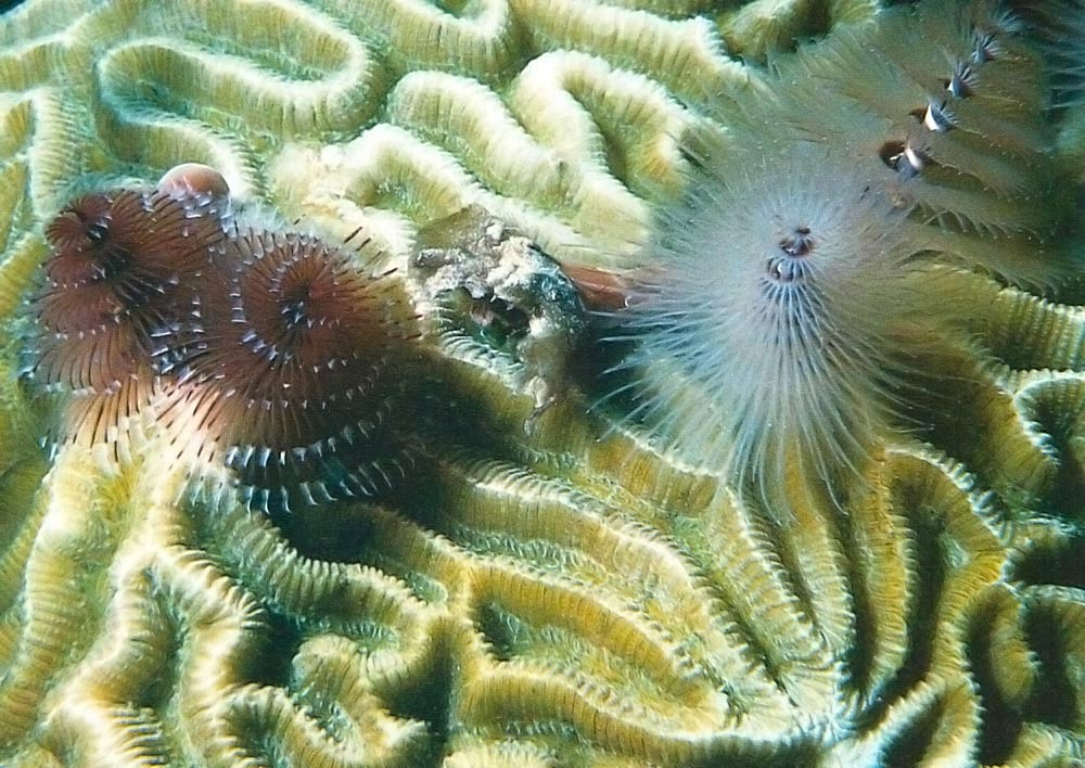 Undersea Dominica: Christmas tree worms and brain coral. Photograph by Eric Young