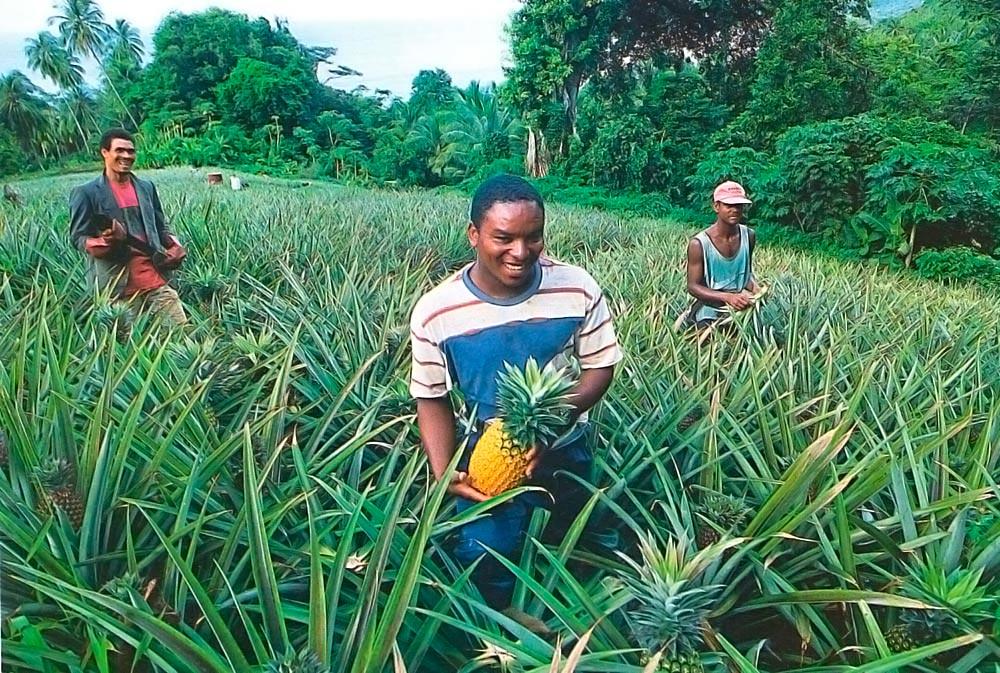 Pineapple farm. Photograph by Clem Johnson/ Freestyle