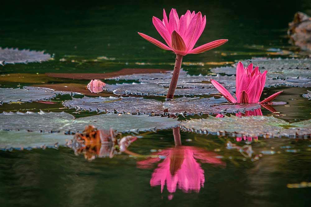 Lotuses growing in the breeding lake. Photo by David Huggins/DSH Jicho