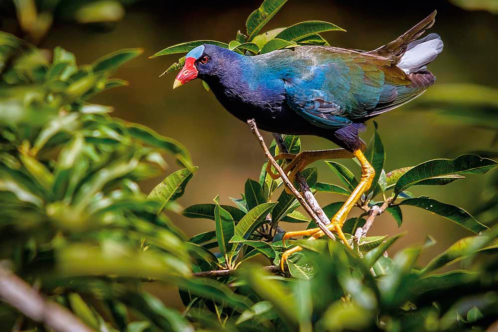 A purple gallinule, one of the Wildfowl Trust's more colourful inhabitants. Photo by David Huggins/DSH Jicho