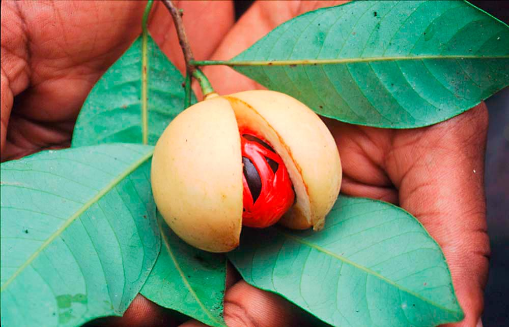 Grenada's world-famous nutmeg. Photo by Sean Drakes