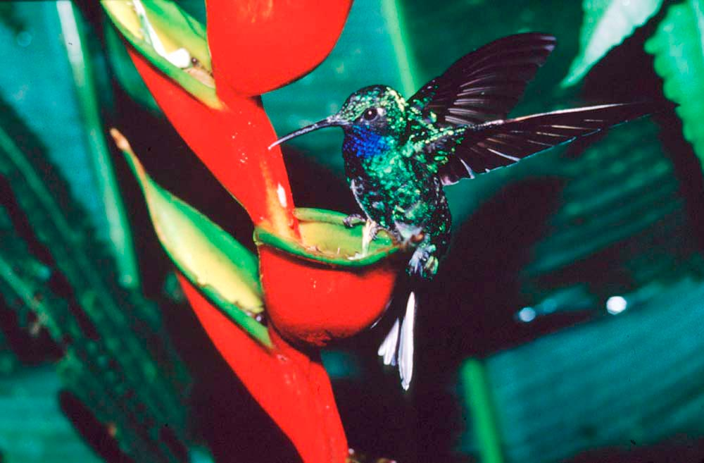 The rare White-tailed Sabrewing hummingbird. This photo was published by National Geographic in 1994. Photo by Roger Neckles
