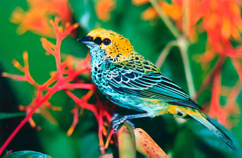 Speckled Tanager. Photo by Roger Neckles