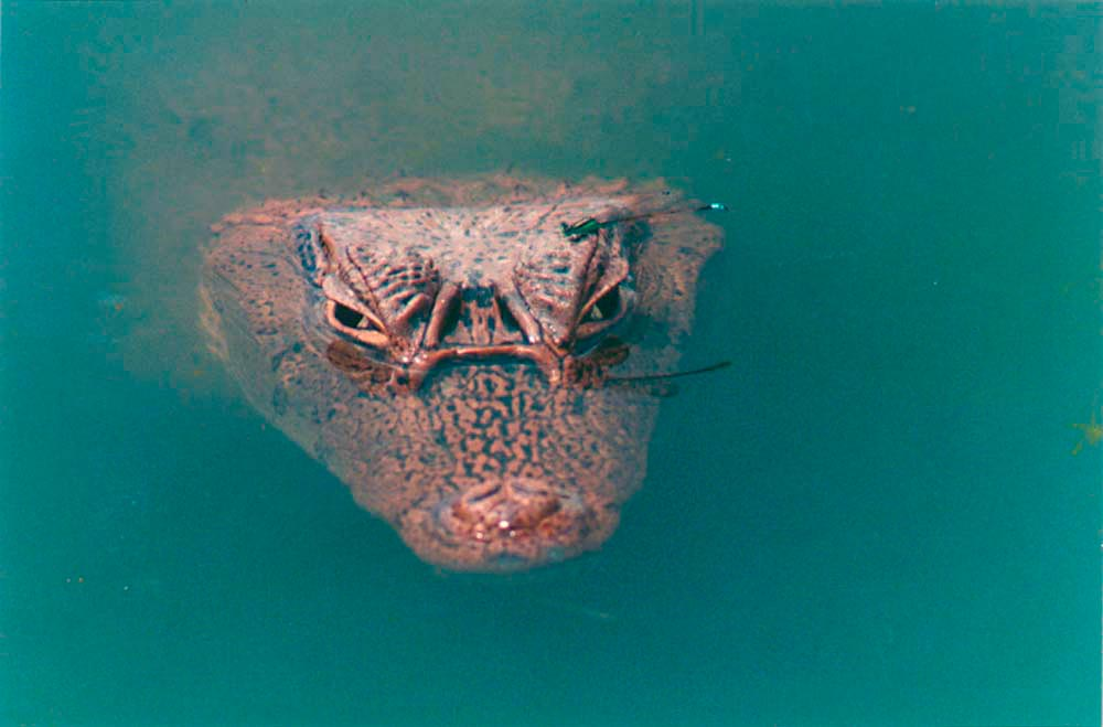 Neckles's eyeball to eyeball shot of a caiman. Photo by Roger Neckles