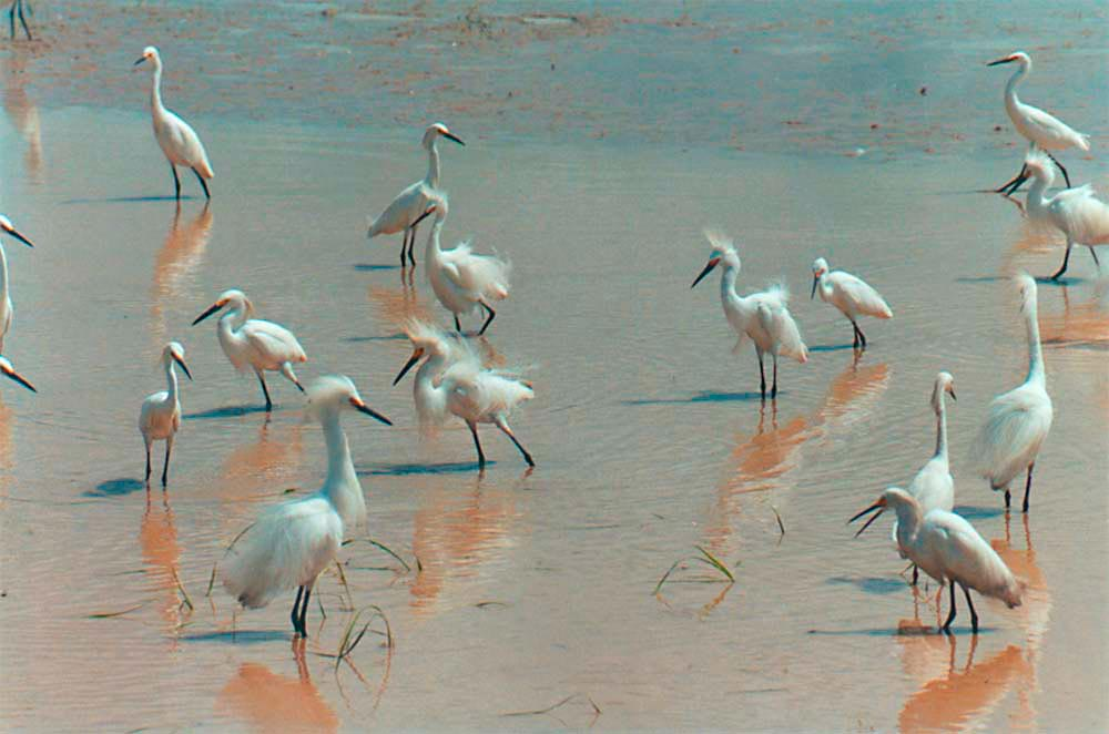 Snowy Egrets, in the Caroni rice fields, central Trinidad. Photo by Roger Neckles