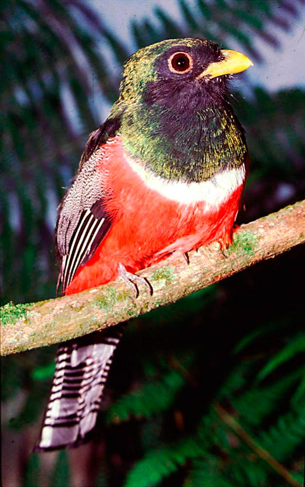 Collared Trogon, Neckles's favourite bird. Photo by Roger Neckles