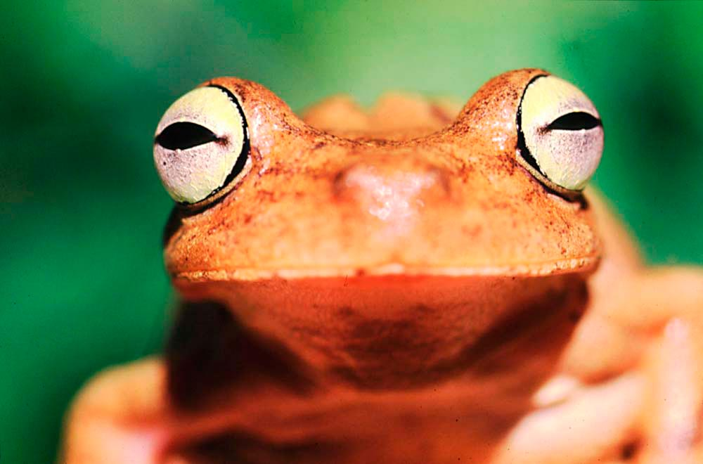 Tree Frog. Photo by Roger Neckles