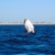 Humpback whale in waters off Baja, California. Photo by Roger Neckles