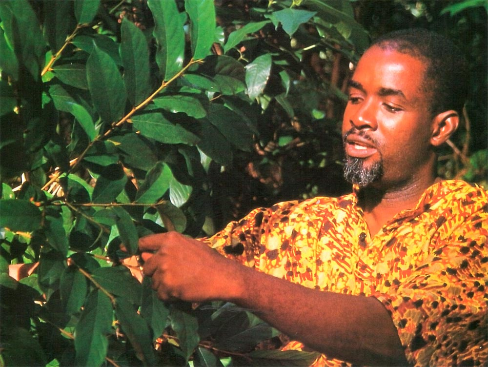 Morean picks Ryania leaves, used as a natural insecticide, at the side of the Arima/ Blanchisseuse Road. Photograph by Mark Meredith
