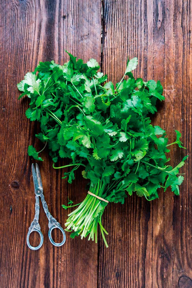 Cilantro, known in Japan as pakuchi, is a workable substitute for Trinidadian chadon beni. Photo by Shutterstock.com/merc67